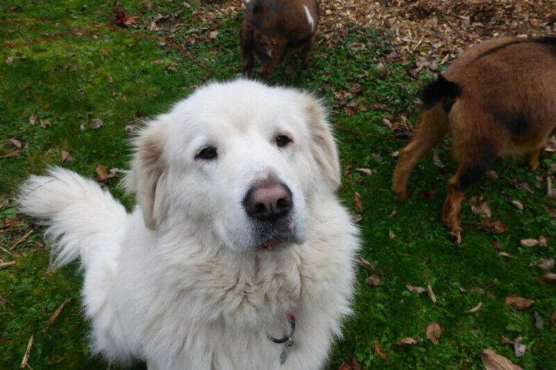 Great Pyrenees farm dog with goats Vancouver