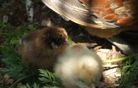 Chicken with baby chicks
