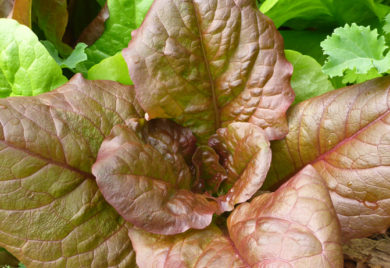 Re lettuce